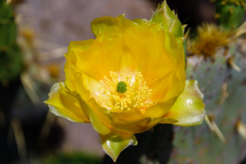 Gelbe Blüte  Guatiza Canarias Spanien by Peter Ehlert in LanzaroteCactus