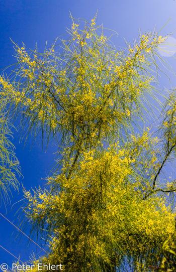 gelb blühender Baum  San Carles Balearische Inseln - Ibiza Spanien by Peter Ehlert in Ibiza - Insel des Lichts