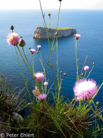 Blume vor S´illa murada  Sant Joan de Labritja Balearische Inseln - Ibiza Spanien by Peter Ehlert in Ibiza - Insel des Lichts