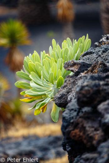 Pflanze in Lava  Teguise Canarias Spanien by Lara Ehlert in LanzaroteFundacion