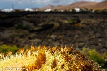 Kaktus und Lavafeld  Teguise Canarias Spanien by Peter Ehlert in LanzaroteFundacion