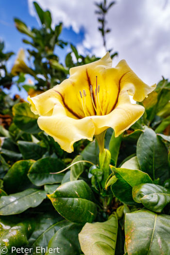 Gelbe Blüte  Teguise Canarias Spanien by Peter Ehlert in LanzaroteFundacion