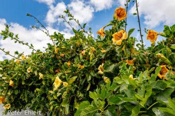 Busch mit gelben Blüten  Teguise Canarias Spanien by Peter Ehlert in LanzaroteFundacion