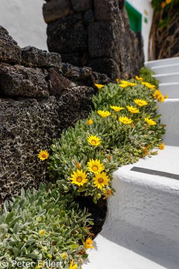 Treppe mit gelben Bodendeckern  Teguise Canarias Spanien by Peter Ehlert in LanzaroteFundacion