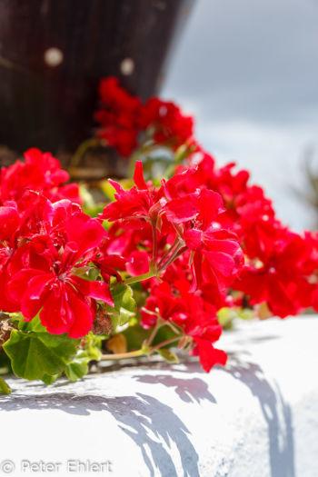 Rote Blüten  Teguise Canarias Spanien by Lara Ehlert in LanzaroteFundacion