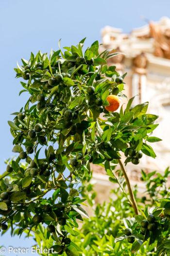 Strassenbaum mit Frucht  Valencia Provinz Valencia Spanien by Peter Ehlert in Valencia_Stadtrundgang
