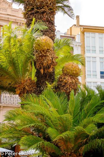 Palmenfrüchte  Valencia Provinz Valencia Spanien by Peter Ehlert in Valencia_Stadtrundgang