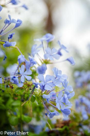Blaue Blume  Valencia Provinz Valencia Spanien by Peter Ehlert in Valencia_Arts i Ciences