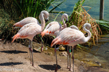 Flamingos  Valencia Provinz Valencia Spanien by Peter Ehlert in Valencia_Oceanografic