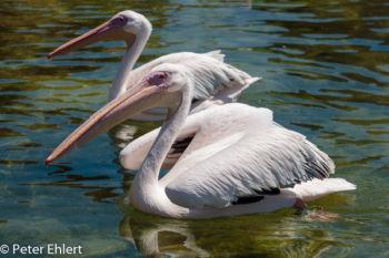 Rosapelikan (Pelecanus onocrotalus)  Valencia Provinz Valencia Spanien by Lara Ehlert in Valencia_Oceanografic