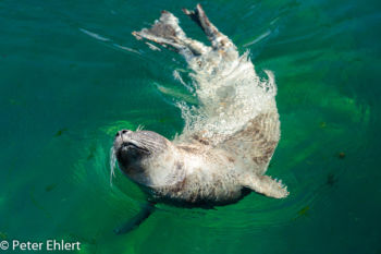 Seehund (Phoca vitulina)  Valencia Provinz Valencia Spanien by Peter Ehlert in Valencia_Oceanografic