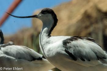 Säbelschnäbler (Recurvirostra avosetta)  Valencia Provinz Valencia Spanien by Peter Ehlert in Valencia_Oceanografic