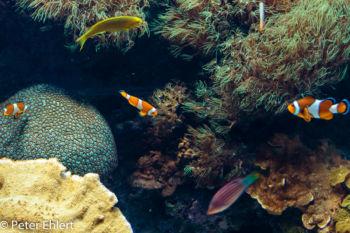 Clownfische  Valencia Provinz Valencia Spanien by Lara Ehlert in Valencia_Oceanografic