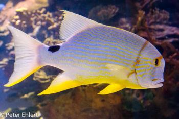 Fisch  Valencia Provinz Valencia Spanien by Peter Ehlert in Valencia_Oceanografic