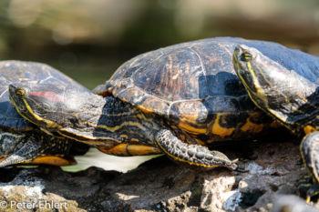 Rotwangen-Schmuckschildkröte (Trachemys scripta elegans)  Valencia Provinz Valencia Spanien by Peter Ehlert in Valencia_Oceanografic