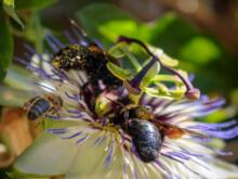 Bienen in Passionsblumenblüte  Brignon Gard Frankreich by Peter Ehlert in Brignon